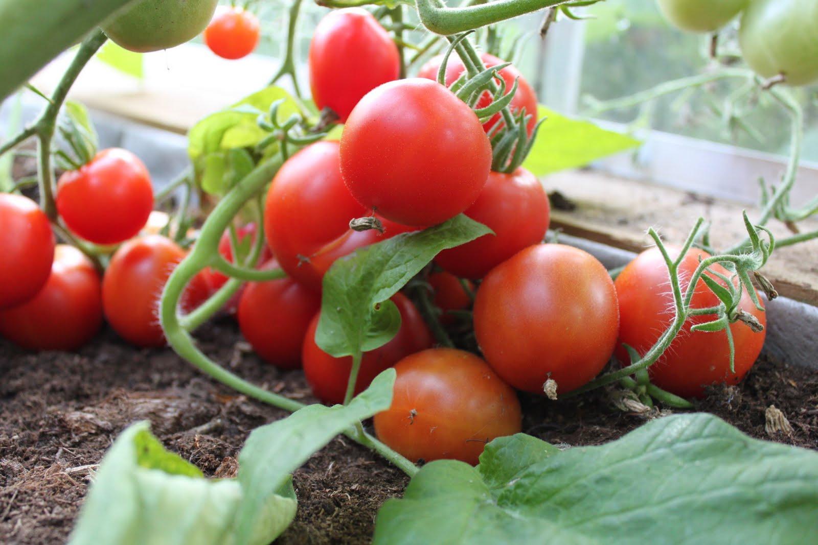 Lempiväri on punainen: tomaattisato on parhaimmillaan