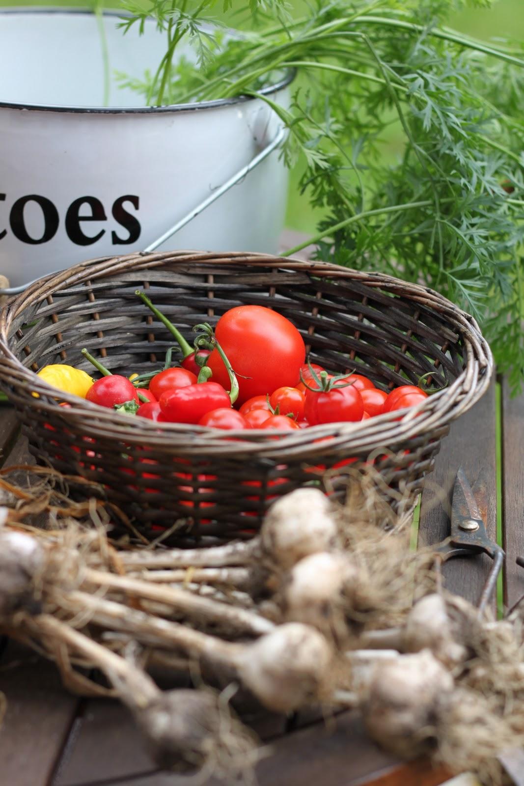 Tomaatin kasvatus – kaverit ja vihamiehet