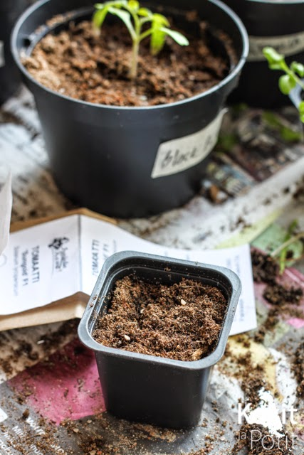 Tomaatin kasvatus – siementen kylvö