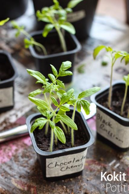 Tomaatin kasvatus – taimien koulinta ja lannoitus