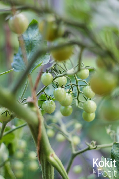 Tomaatin kasvatus – latvominen ja lehtien poistaminen