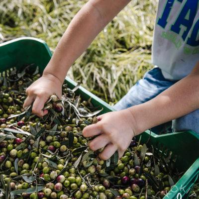Oliivinpoimintaa Italiassa